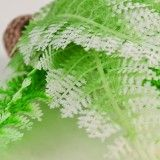 Frosted Winter Fern Plant Pack